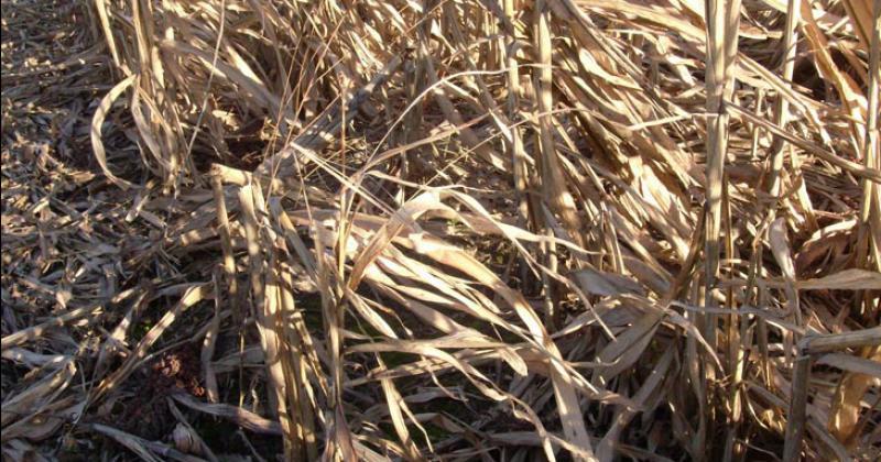 Con el rastrojo del maíz y el sorgo puede producirse bioetanol